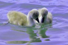 New swan - © Sébastien Bur